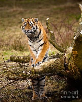 Siberian Tiger Art Print by Boon Mee