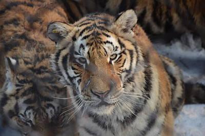 Siberian Tiger Art Print by Brett Geyer
