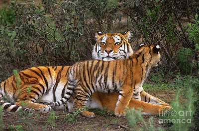 Photograph - Siberian Tiger Cub Guarding Mom Wildlife Rescue by Dave Welling