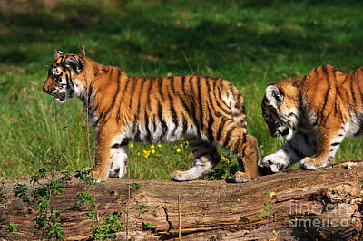 Photograph - Siberian Tiger Cubs by Nick  Biemans