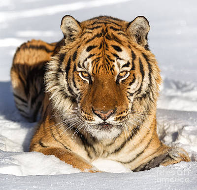 Siberian Tiger Face To Face Art Print by Jerry Fornarotto