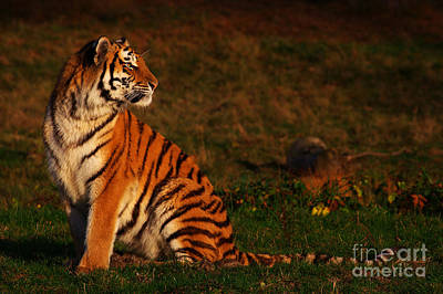 Photograph - Siberian Tiger Looking Backwards by Nick  Biemans