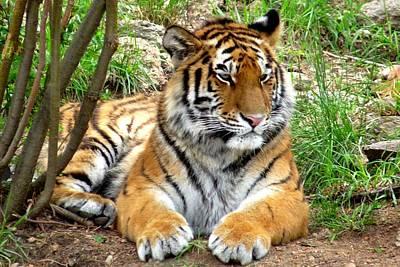 Photograph - Siberian Tiger by Marilyn Burton