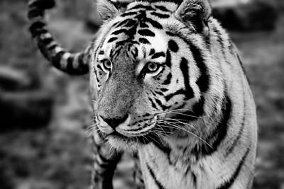 Photograph - Siberian Tiger Monochrome by Semmick Photo