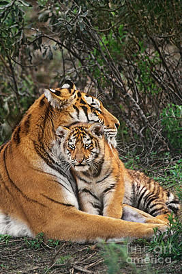 Art Print featuring the photograph Siberian Tiger Mother And Cub Endangered Species Wildlife Rescue by Dave Welling