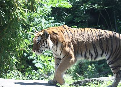 Photograph - Siberian Tiger On The Prowl by John Telfer