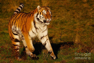 Photograph - Siberian Tiger On The Run by Nick  Biemans
