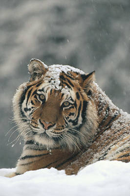 Photograph - Siberian Tiger Portrait In Light by Konrad Wothe