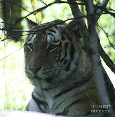 Siberian Tiger Profile Art Print by John Telfer
