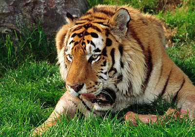 Siberian Tiger Photograph - Siberian Tiger With Food by Nigel Downer