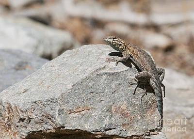 Photograph - Side-blotched Lizard by Dan Suzio