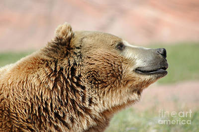 Photograph - Side Profile Of A Brown Bear by Living Color Photography Lorraine Lynch
