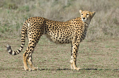 Side Profile Of A Cheetah, Ngorongoro Print by Panoramic Images