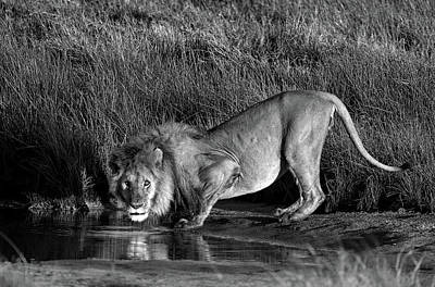 Side Profile Of A Lion Drinking Water Art Print