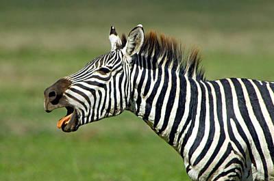 Side Profile Of A Zebra Braying Art Print