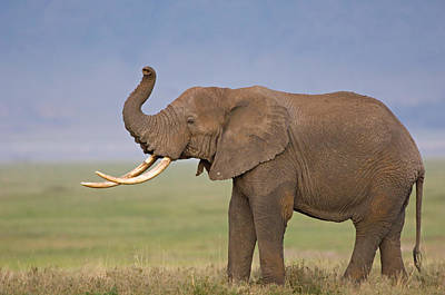 Side Profile Of An African Elephant Art Print by Panoramic Images