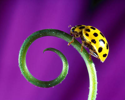 Lady Bug Photograph - Side View Close Up Of Yellow Ladybug by Panoramic Images