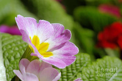 Side View Of A Spring Pansy Art Print by Jeff Swan