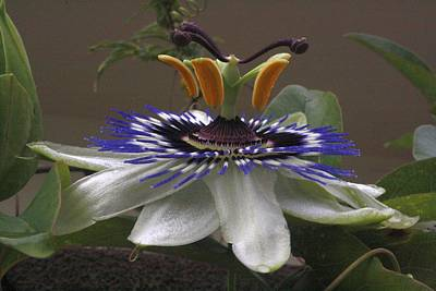 Photograph - Side View Of Beautiful Passiflora Flower by Taiche Acrylic Art