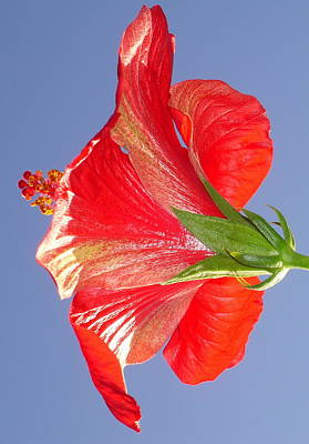 Photograph - Side View Of Scarlet Red Hibiscus In Bright Light by Tracey Harrington-Simpson