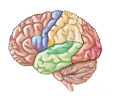 Lobe Digital Art - Side View Of The Human Brain Showing by TriFocal Communications