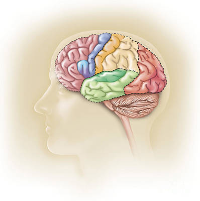 Human Brain Digital Art - Side View Of The Human Head Showing by TriFocal Communications