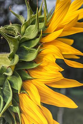 Side View Sunflower Art Print by Georgia Fowler