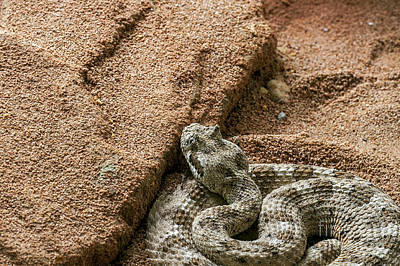 Photograph - Sidewinder 1 by Arterra Picture Library