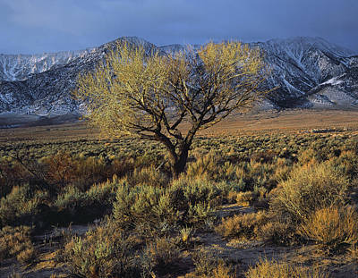 Photograph - Sierra Sunlit Tree by Paul Breitkreuz