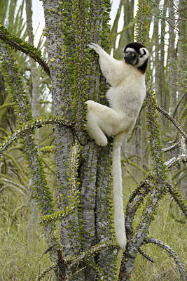 Photograph - Sifaka In The Spiny Forest by Michele Burgess