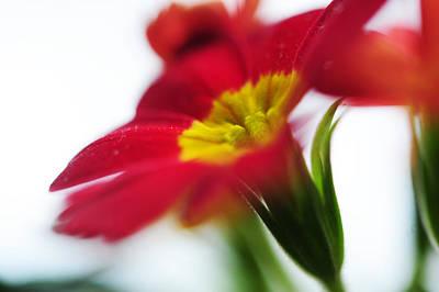 Primula Vulgaris Photograph - Sign Of Spring Iv. Primrose by Jenny Rainbow