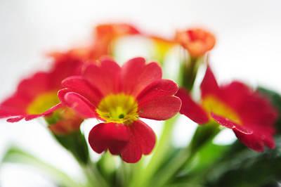 Primula Vulgaris Photograph - Sign Of Spring. Primrose by Jenny Rainbow