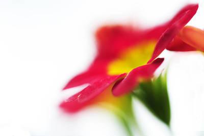 Primula Vulgaris Photograph - Sign Of Spring V. Primrose by Jenny Rainbow