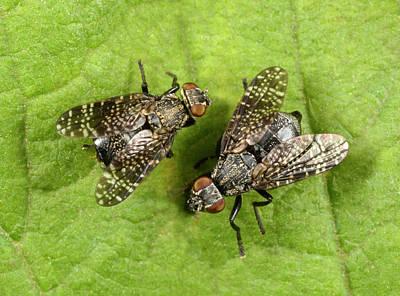 Animal Behaviour Wall Art - Photograph - Signal Flies by Nigel Downer