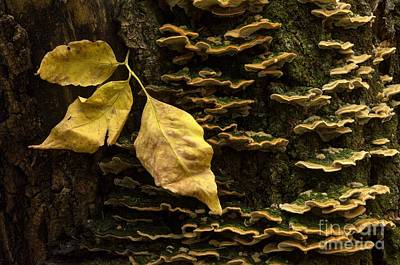 Bracket Fungus Photograph - Signs Of Autumn by Bob Christopher