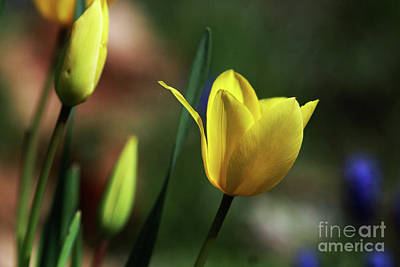 Spring Bulbs Photograph - Signs Of Spring II by Douglas Stucky