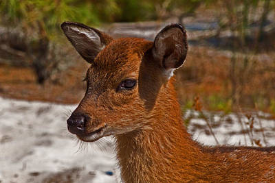 Photograph - Sika Deer Fawn At Assateague Island National Seashore by Bill Swartwout
