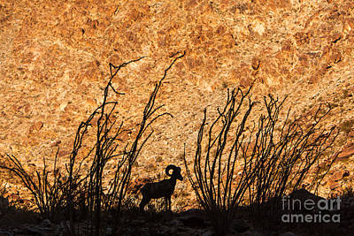 Silhouette Bighorn Sheep Art Print