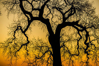 Photograph - Silhouette Oak by Spencer Hughes