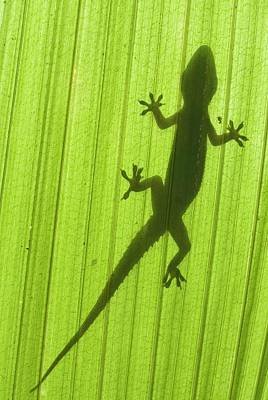 Silhouette Of A Gecko On A Palm Frond. Art Print by Scubazoo