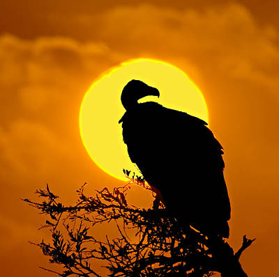 Circle In The Square Photograph - Silhouette Of A Vulture Perching by Panoramic Images