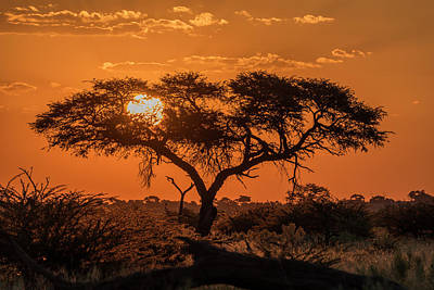 Photograph - Silhouette Of Acacia Tree At Orange by Nick Dale