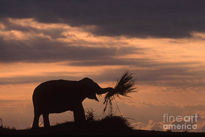 Photograph - Silhouette Of An Asian Elephant Eating by Samuel R Maglione