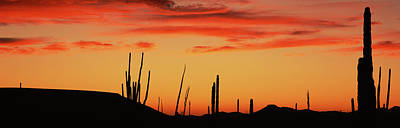 Phallus Photograph - Silhouette Of Boojum Tree And Cardon by Panoramic Images