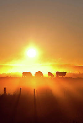 Silhouette Of Cattle Walking Across The Art Print by Imaginegolf