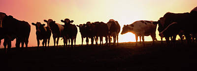 Point Reyes National Seashore Photograph - Silhouette Of Cows At Sunset, Point by Animal Images