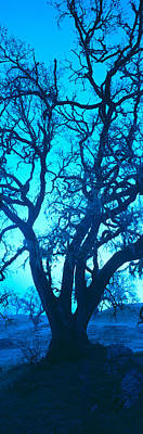 Central Coast Photograph - Silhouette Of Oaks Trees, Central by Panoramic Images