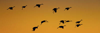 Of Birds Photograph - Silhouette Of Sandhill Cranes Grus by Panoramic Images
