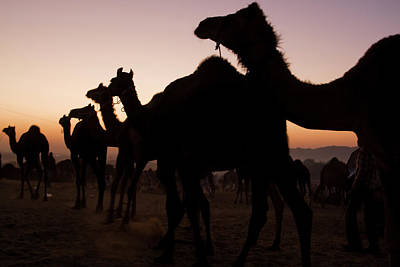 Festivals Of India Photograph - Silhouetted Dromedary Camels At Sunset by Steve Winter