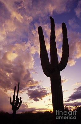 Silhouetted Saguaro Cactus Sunset At Dusk Arizona State Usa Art Print